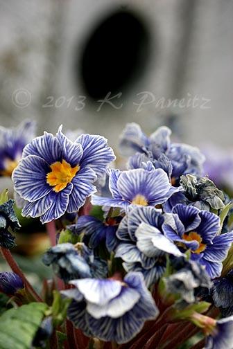 Primrose 'Blue Zebra6'