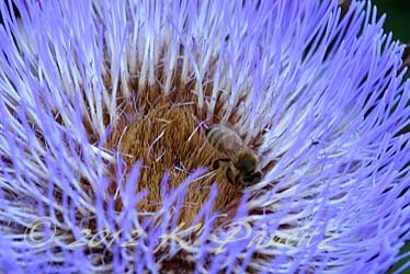 Artichoke bloom4