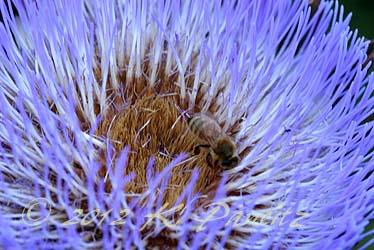 Artichoke bloom4