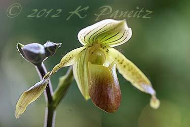 Paph. Orchid 'Jurgen Roth1'