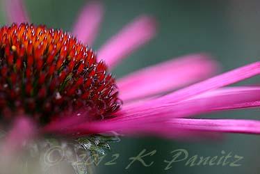 Echinacea 'Burgundy Fireworks1'