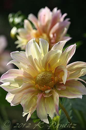 Dahlia 'Apple Blossom8'