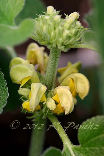 Phlomis russeliana1