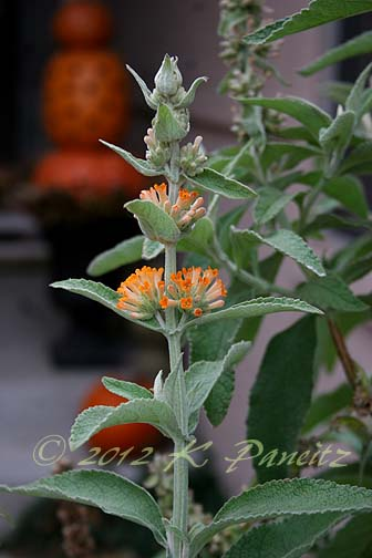 Buddleia 'Orange Sceptre4'