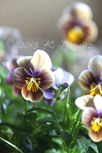Velour Frosted Chocolate Violas2
