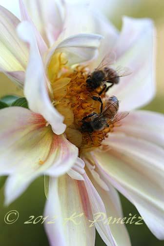 Dahlia 'Apple Blossom9'