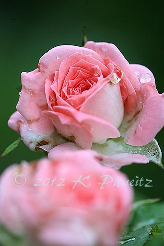 Miniature Rose 'Cupcake'