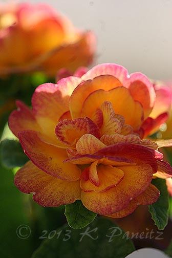 Primula Belarina Nectarine2