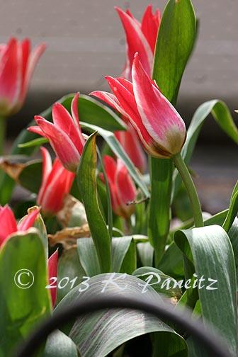 'Tsar Peter' Greigii Tulips