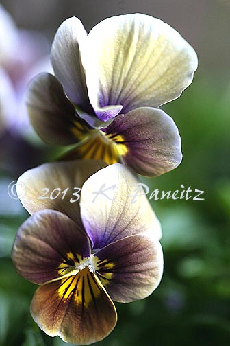 Velour Frosted Chocolate Violas1