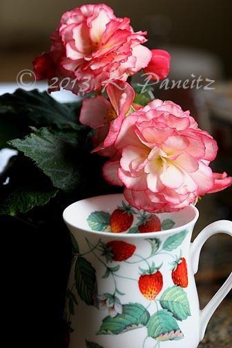 Begonia 'Rose Petticoat'