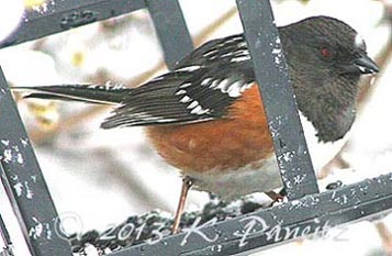 Spotted Towhee4