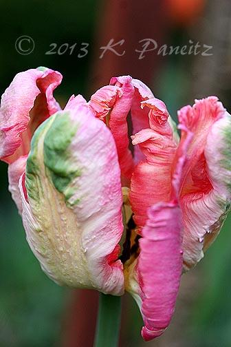 Parrot Tulip 'Apricot'
