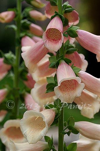'Dalmatian Peach' Foxglove1