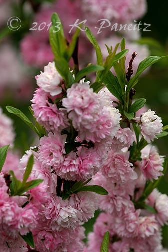 Double Pink Flowering Almond1