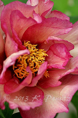 Tree Peony 'Happy Days3'