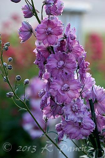 Delphinium 'Pink Punch'
