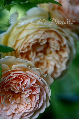 DA 'Crown Princess Margareta1'