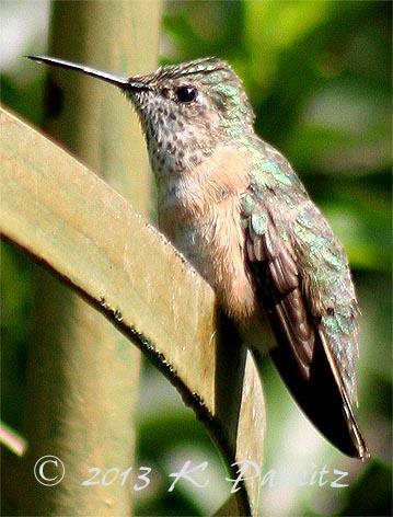 Rufous Hummingbird3
