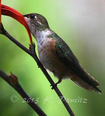 Rufous Hummingbird6