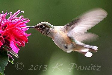 Rufous Hummingbird7