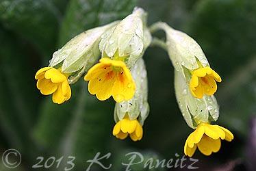 Primula Veris 'Cowslip'