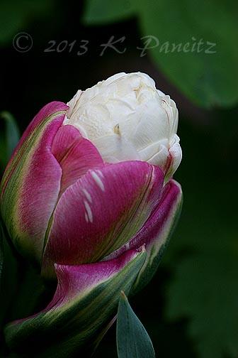 'Ice Cream' Tulip4