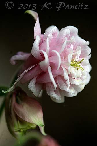 Aquilegia Double Pink1