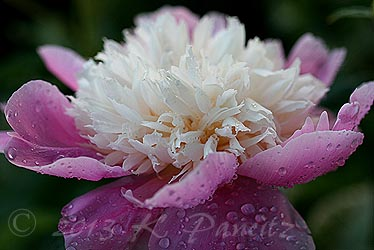 'Bowl of Beauty' Peony1