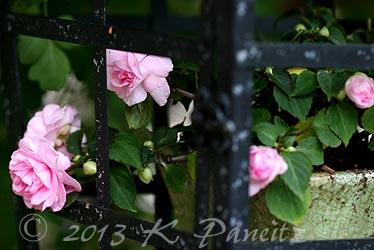 Lantern & Dbl Pink Impatiens6