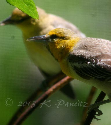Bullocks Oriole Young3