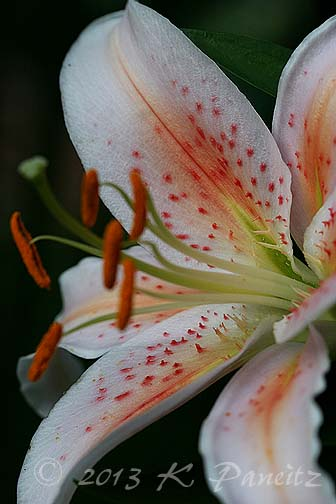 Oriental Lily 'Salmon Star3'