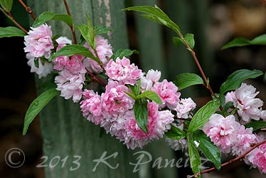 Double Pink Flowering Almond
