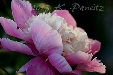 'Bowl of Beauty' Peony