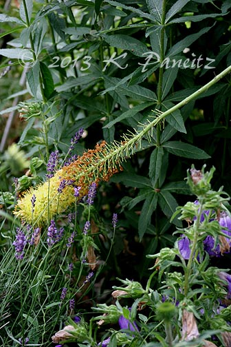Foxtail lily broken