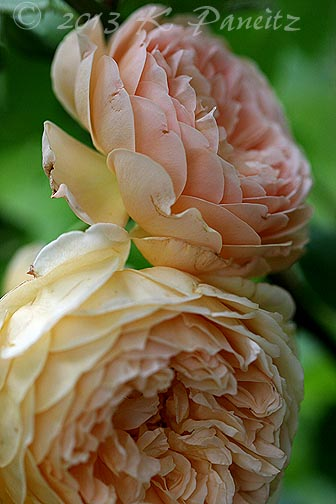 DA 'Crown Princess Margareta3'