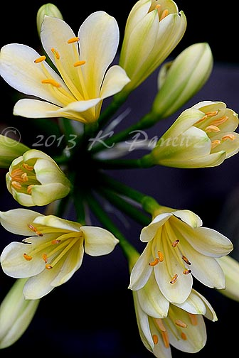 Clivia 'Good Hope5'