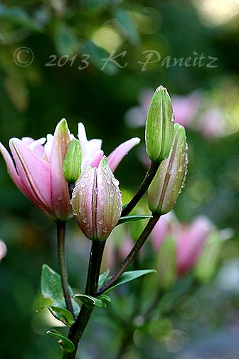 Asiatic Lily 'Elodie' buds1