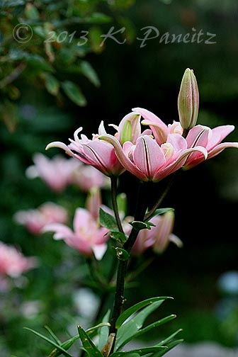 Asiatic Lily 'Elodie3'