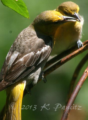 Bullocks Oriole Young4