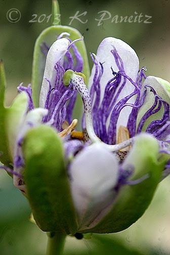 Passiflora incarnata 'Maypop2'
