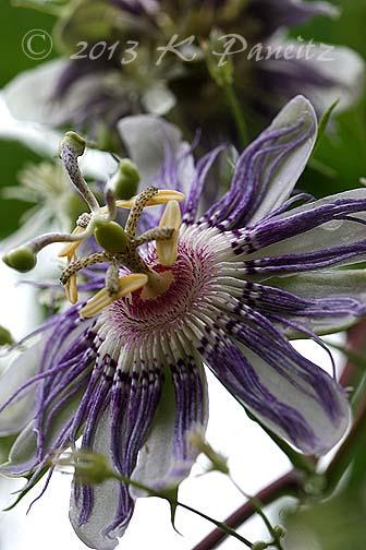 Passiflora incarnata 'Maypop5'