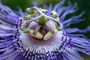 Passiflora incarnata 'Maypop10'