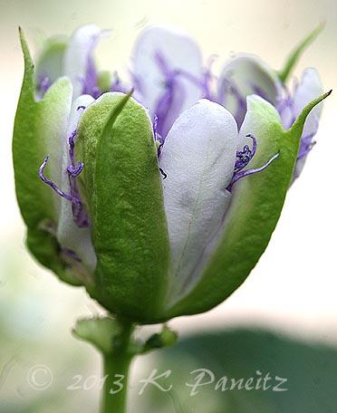 Passiflora incarnata 'Maypop3'