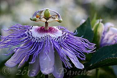 Passiflora incarnata 'Maypop9'