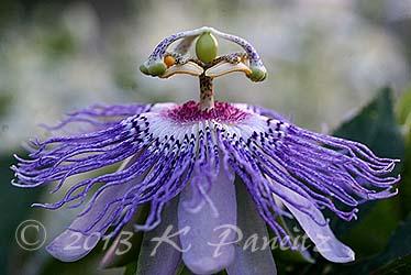 Passiflora incarnata 'Maypop7'