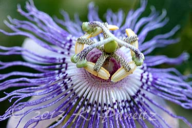 Passiflora incarnata 'Maypop8'