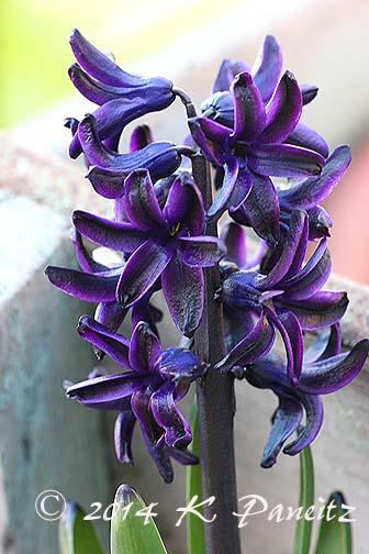 Hyacinth 'Dark Dimension6'