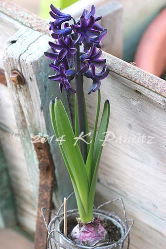 Hyacinth 'Dark Dimension11'