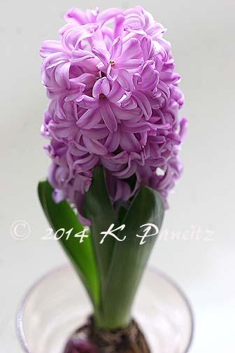 Hyacinth 'Splendid Cornelia5'